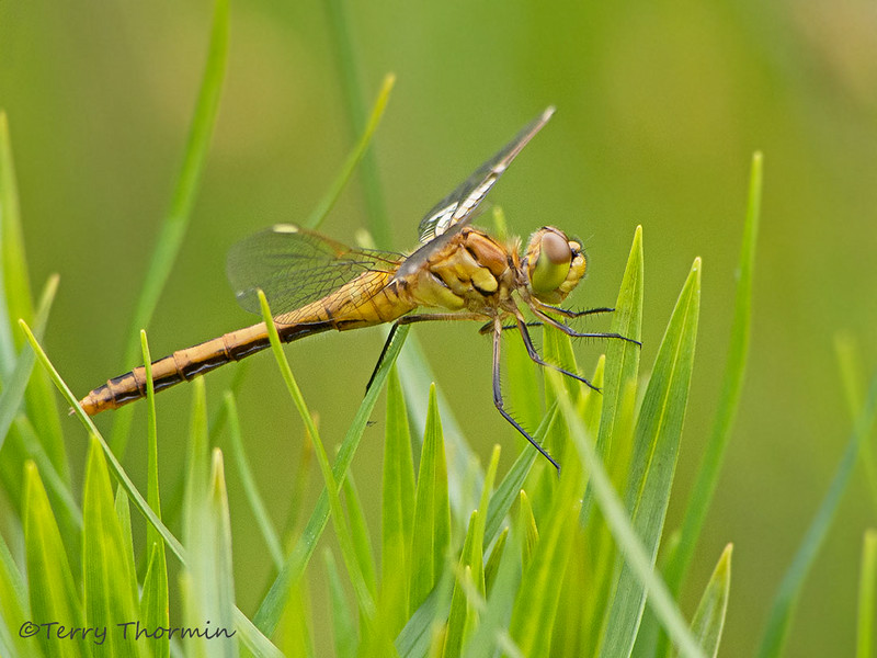 Saffron-winged Meadowhawk teneral, Sympetrum costiferum