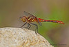 Striped Meadowhawk , Sympetrum  pallipes