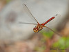 Striped Meadowhawk in flight, Sympetrum  pallipes