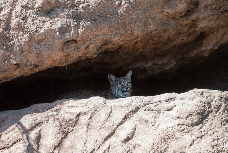 A Bobcat peers from its den in Cat Canyon in the Arizona-Sonora Desert Museum. Tucson, Arizona