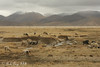 Grazing - Qomolangma National Nature Preserve, Tibet, China ... May 27, 2014 ... Photo by Rob Page III
