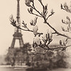 April in Paris - Magnolia buds (II)