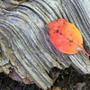 Leaf on Rippled Log
