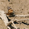 Painted Lady- Mojave Desert_CA- 695