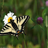 Swallowtail_Tudyah Lake_British Columbia_Canada-018