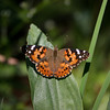 Painted Lady_Chiricahua Mtns_AZ-2434-2
