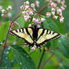 Swallowtail_Tudyah Lake_British Columbia_Canada-015