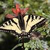 Swallowtail_Ormond Lake_British Columbia_Canada-1-2