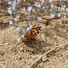 Painted Lady_Butterbredt Spring_Kern Co_CA-7031