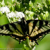 Swallowtail_Tupper_British Columbia_Canada-293