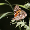 Painted Lady- VenCo_CA_6148