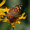 Painted Lady_Chiricahua Mtns_AZ-2439