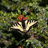 Swallowtail_Ormond Lake_British Columbia_Canada-0906-3