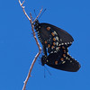 Pipevine Swallowtail SE Arizona 2