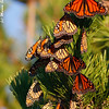 Monarchs on the twig