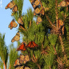 Monarchs on a tree