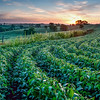 Sunrise over bean field and pasture