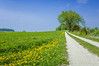 A farm road and dandelions in rural, Iowa, USA.