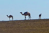 Bedouin camels <br /> (south of Tel Aviv, 7/24/2014)<br /> #9114-crp1