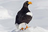 Steller's sea eagle standing on the ice pack