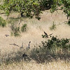 Young turkeys (turklets?  turklings?) can fly pretty well