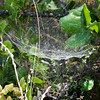 Bowl-and-doily spider, Frontinells communis