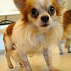 One of twenty chihuahuas rescued from a Richland County puppy mill, at Friendship APL on Aug. 21.  Steve Manheim