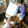 Brooke Trego, of Lagrange and Keystone Crazy Kids, pours woodchips in the yorkshire hog pens.  STEVE MANHEIM/CHRONICLE