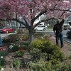 David and George Delia, pruning a flowering cherry tree on Queen Street, April 27.  (Gorosko photo)