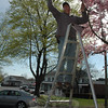 David Delia, pruning a flowering cherry tree on Queen Street, April 27.  (Gorosko photo)