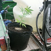 Sherry Van Arsdall   The Goshen News<br /> A marijuana plant found at Abshire Park in Goshen Monday morning by a Boy Scout, sits on the back of a park department vehicle.