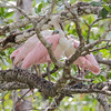 Puntarenas, Costa Rica. The Roseate Spoonbill-viewed on the Tarcoles River.