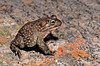 Karoo toad, Vandijkophrynus gariepensis, Kamieskroon, South Africa, formerly Bufo gariepensis