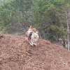 Annie D gets tangles up with Daisy a on the mulch pile