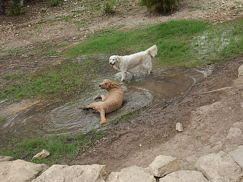 Woodstock M taking a mudbath while Storm observes