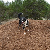 Gracie H claims the mulch pile as her own