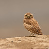 burrowing owl othello washington state