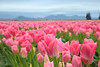 Tulip Fields of Skagit Valley Washington