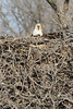 img_20130429_30268_nesting_eagle_on_bailey_lake_facing_c2
