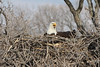 img_20130429_30277_Nesting_Eagle_on_Bailey_Lake_c