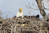 IMG_20130429_30289_Nesting_Eagle_on_Bailey_Lake_facing_c