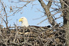 img_20130429_30298_Nesting_Eagle_on_Bailey_Lake_closer_side_c