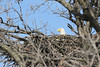 IMG_20130429_30314_Nesting_Eagle_on_Bailey_Lake_c