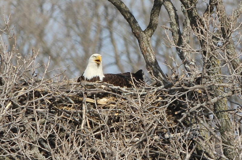 img_20130429_30272_Nesting_Eagle_on_Bailey_Lake_closer-c