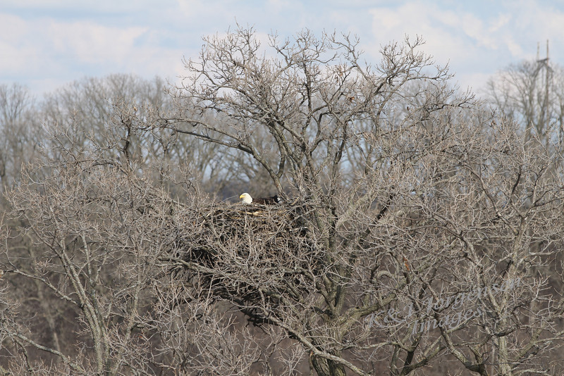 img_20130429_30240_Nesting_Eagle_on_Bailey_Lake
