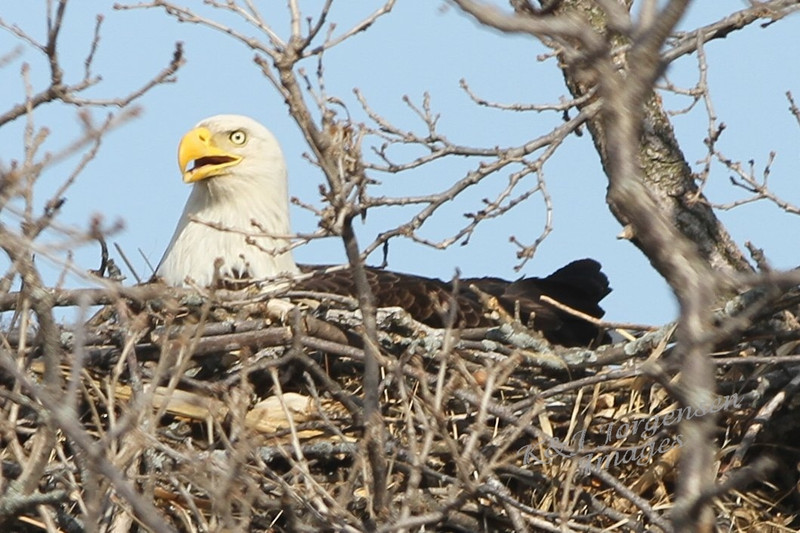 img_20130429_30292_Nesting_Eagle_on_Bailey_Lake_closer_side_c