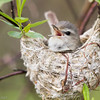 Warbling Vireo and Nest