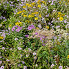 Meadow flower mix, lower new cottages
