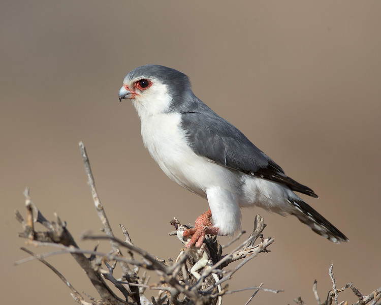 Pygmy Falcon with Lizard