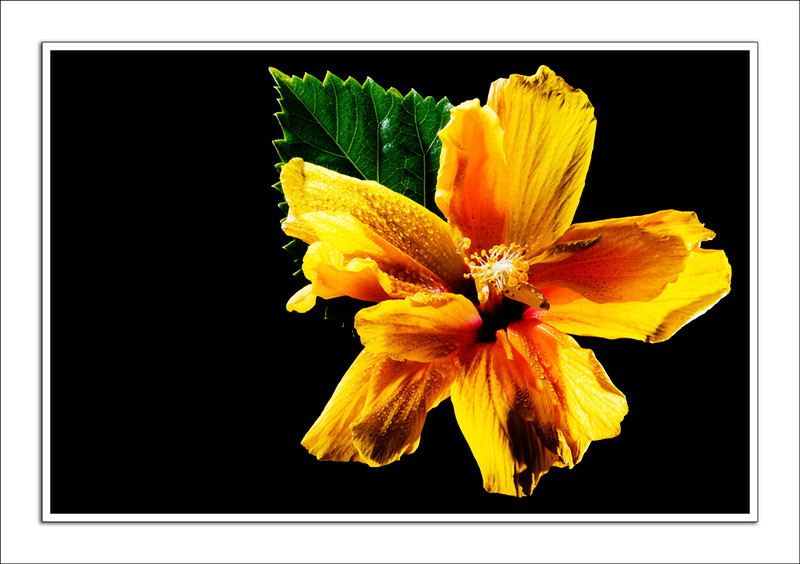 Easter Hibiscus 10/23 In April's Contest